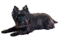 Schwarzer kleiner Terrier, der sich im weißen Hintergrund hinlegt Lizenzfreies Stockbild