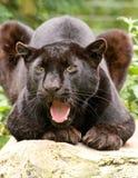 Schwarzer knurrender Panther Lizenzfreies Stockbild