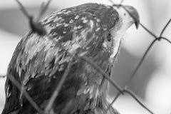 Schwarzer Kopf eines Adlers hinter und mit einer Seite Stockfoto