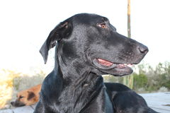 Schwarzer Laborhund, der Uhr hält Stockfotos