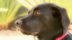 Schwarzer Laborhund (Zeitlupe) stock video footage