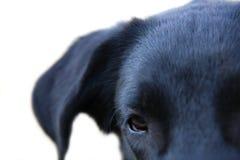 Schwarzer Labrador-Apportierhund stockbild