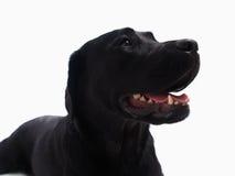 Schwarzer Labrador-Apportierhund Lizenzfreie Stockfotos