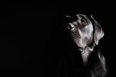 Schwarzer Labrador-Apportierhund lizenzfreie stockfotografie