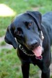 Schwarzer Labrador-Apportierhund Stockfotografie