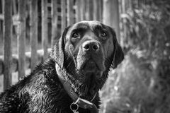 Schwarzer Labrador-Apportierhund Stockfotos