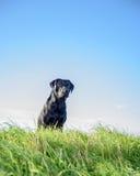 Schwarzer Labrador-Apportierhund Stockbilder