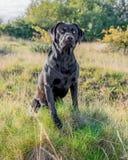Schwarzer Labrador-Apportierhund Lizenzfreie Stockbilder