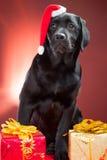 Schwarzer Labrador-Apportierhund, der rote Schutzkappe von Sankt trägt Lizenzfreies Stockbild