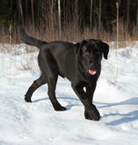 Schwarzer Labrador-Apportierhund-Welpe Lizenzfreies Stockbild