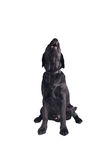 Schwarzer Labrador-Apportierhundwelpe Lizenzfreies Stockfoto