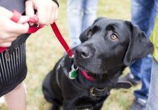 Schwarzer Labrador-Blindenhund Lizenzfreie Stockfotos