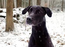 Schwarzer Labrador-Hund im Schnee Lizenzfreies Stockfoto