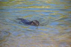 Schwarzer Labrador-Hund mit braunen Augen schwimmend Lizenzfreie Stockbilder