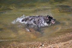 Schwarzer Labrador-Hund rüttelt Wasser Stockbild