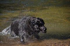 Schwarzer Labrador-Hund rüttelt Wasser Lizenzfreie Stockbilder
