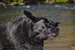 Schwarzer Labrador-Hund rüttelt Wasser Stockfoto