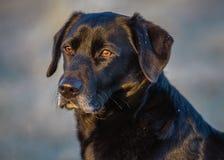 Schwarzer Labrador-Lärm das Feld Lizenzfreies Stockfoto