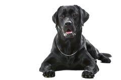 Schwarzer labrador retriever-Hund, der auf getrenntem Weiß liegt Lizenzfreies Stockbild