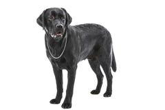 Schwarzer labrador retriever-Hund, der auf getrenntem Weiß liegt Stockfotografie