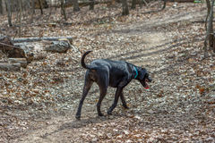 Schwarzer Labrador retriever-Hund, der hinunter eine Spur geht Lizenzfreie Stockbilder
