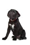 Schwarzer Labrador-Welpe Lizenzfreie Stockfotografie
