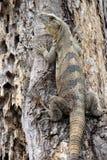 Schwarzer Leguan in einem Baum Lizenzfreie Stockfotos