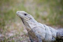 Schwarzer Leguan gefunden bei Chichen Itza Lizenzfreie Stockfotos