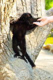 Schwarzer Lemur Lizenzfreie Stockfotos