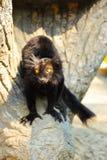 Schwarzer Lemur Stockfotografie