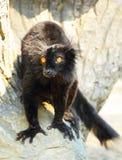 Schwarzer Lemur Stockfotos