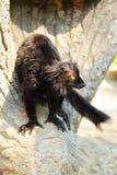 Schwarzer Lemur Stockfoto