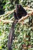 Schwarzer Lemur (Eulemur macaco) Lizenzfreie Stockbilder