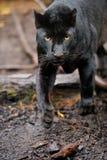 Schwarzer Leopard lizenzfreie stockfotografie