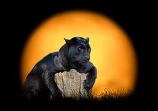 Schwarzer Leopard auf dem Hintergrund des Sonnenuntergangs lizenzfreies stockbild