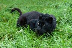 Schwarzer Leopard, der im langen Gras sich anpirscht Stockbilder