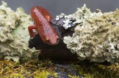 Schwarzer lippiger orange Salamander auf grünem Moos Lizenzfreies Stockbild