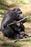 Schwarzer Macaque mit Haube Lizenzfreies Stockbild