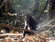 Schwarzer Makaken, allein sitzend auf der Niederlassung Lizenzfreies Stockbild