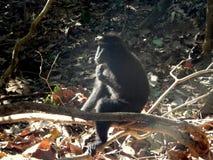 Schwarzer Makaken, allein und denken Lizenzfreie Stockfotografie