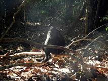 Schwarzer Makaken, allein und denken Lizenzfreies Stockfoto