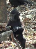Schwarzer Makaken des Babys, Mittagspause Lizenzfreie Stockfotografie