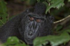 Schwarzer Makaken mit Haube beim Betrachten Sie im Wald Lizenzfreies Stockbild