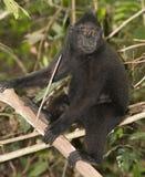 Schwarzer Makaken mit Haube beim Betrachten Sie im Wald Stockfotografie