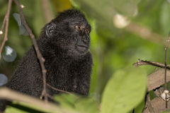 Schwarzer Makaken mit Haube beim Betrachten Sie im Wald Stockfotos