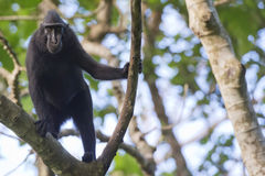 Schwarzer Makaken mit Haube beim Betrachten Sie im Wald Stockbilder
