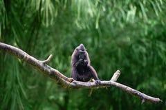 Schwarzer Makaken mit Haube (Macaca Nigra) Stockbild
