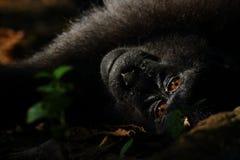 Schwarzer Makaken Sulawesis mit Haube betrachtet Kamera im Tangkoko-Naturreservat Lizenzfreie Stockfotos