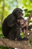 Schwarzer Makakenaffe mit Haube beim Betrachten Sie im Wald Stockfotografie