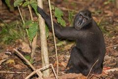 Schwarzer Makakenaffe mit Haube beim Betrachten Sie im Wald Lizenzfreie Stockfotos